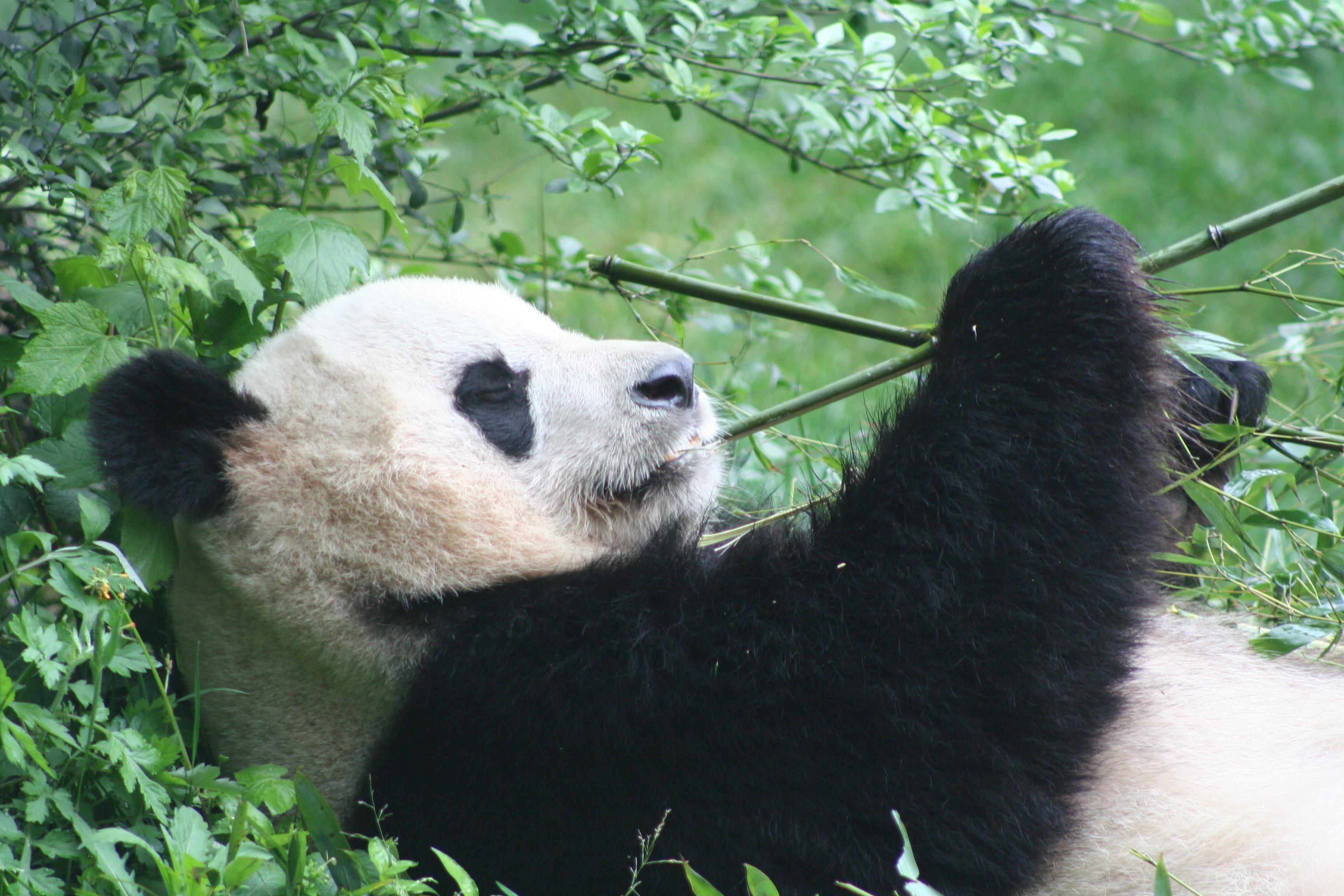 Pusat Penangkaran Panda Di Chengdu Harjo